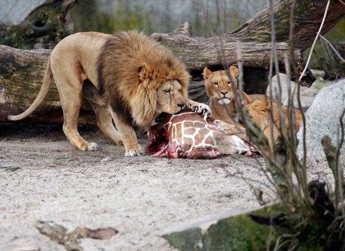 Львы едят жирафа